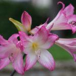 <em>Amaryllis belladonna</em> 28/09/2017
