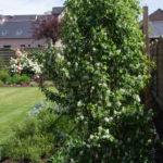 <em>Amelanchier alnifolia</em> 'Obelisk' 11/05/2016