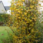 <em>Amelanchier alnifolia</em> 'Obelisk' 20/10/2016