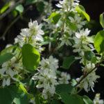 <em>Amelanchier alnifolia</em> 'Obelisk' 16/04/2020