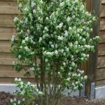 <em>Amelanchier alnifolia</em> 'Obelisk' 24/04/2015