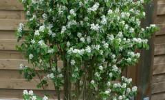 Amelanchier alnifolia 'Obelisk' 24/04/2015