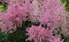In full bloom - mid-June
