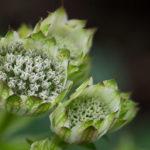 <em>Astrantia major subsp. involucrata</em> 'Shaggy' 03/09/2021