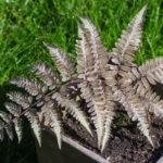 <em>Athyrium niponicum</em> 'Metallicum' 18/03/2020