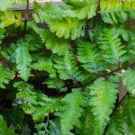 <em>Athyrium niponicum var. pictum</em> 'Red Beauty' 26/05/2020