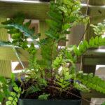 <em>Athyrium otophorum</em> var. okanum 14/05/2020