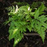 <em>Athyrium otophorum var. okanum</em> 20/08/2020