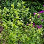 <em>Calycanthus floridus</em> 'Athens' 10/06/2021