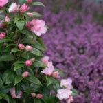 <em>Camellia Japonica x williamsii</em> 'Buttons & Bows' 09/03/2019