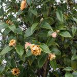 <em>Camellia Japonica x williamsii</em> 'Buttons & Bows' 13/02/2021