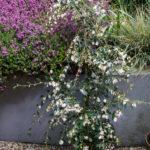 <em>Camellia rosthorniana</em> 'Elina' / 'Cupido' 15/04/2018