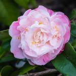 <em>Camellia x</em> 'Sweet Emily Kate' 13/03/2015