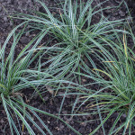 <em>Carex morrowii</em> 'Ice Dance' 09/09/2015
