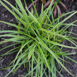<em>Carex oshimensis</em> 'Everest' 09/09/2015