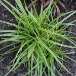 <em>Carex oshimensis</em> 'Everest' 09/09/2015