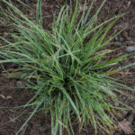 <em>Carex oshimensis</em> 'Eversheen' 29/05/2016