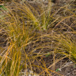 <em>Carex testacea</em> 20/04/2016
