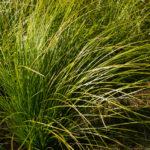 <em>Carex testacea</em> 21/08/2016