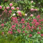 <em>Centranthus ruber</em> 04/06/2021