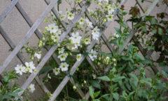 Pleine floraison début mai