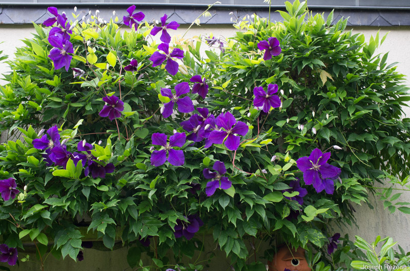 clematis jackmanii papi joe 39 s garden. Black Bedroom Furniture Sets. Home Design Ideas