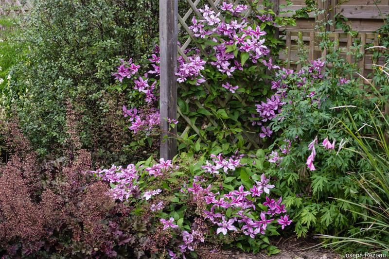 Fort développement cette saison. Grimpe (avec un peu d'aide) et rampe sur les plantes voisines.