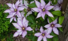 Première saison de floraison