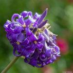 <em>Clematis heracleifolia</em> 02/09/2019