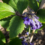<em>Clematis heracleifolia</em> 09/09/2015