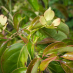 <em>Cornus hongkongensis</em> 22/05/2020
