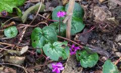 Feuillage et floraison en fin d'hiver