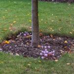 <em>Cyclamen hederifolium</em> 11/10/2018