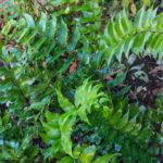 <em>Cyrtomium falcatum</em> 17/12/2020