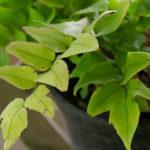 <em>Cyrtomium fortunei var. clivicola</em> 16/05/2019