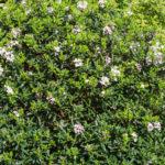 <em>Daphne x transatlantica </em> 'Eternal Fragrance' 11/04/2019