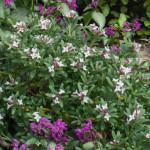 <em>Daphne x transatlantica </em> 'Eternal Fragrance' 29/05/2015