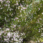 <em>Diosma hirsuta</em> 'Pink Fountain' 08/04/2021
