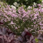 <em>Diosma hirsuta</em> 'Pink Fountain' 17/04/2017