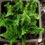 <em>Dryopteris affinis</em> 'Crispa Gracilis' 20/08/2020