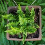 <em>Dryopteris affinis</em> 'Crispa Gracilis' 25/05/2020