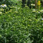 <em>Echinacea purpurea</em> JS® 'White Prairie' 01/07/2020