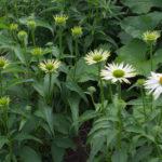 <em>Echinacea purpurea</em> JS® 'White Prairie' 12/07/2016
