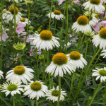 <em>Echinacea purpurea</em> JS® 'White Prairie' 19/07/2015