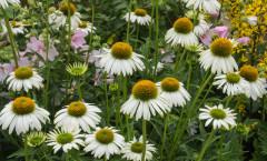 Echinacea purpurea JS® 'White Prairie' 19/07/2015