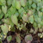 <em>Epimedium x versicolor</em> 'Sulphureum' 11/04/2019