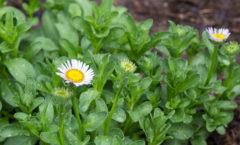 Floraison de juin (début)