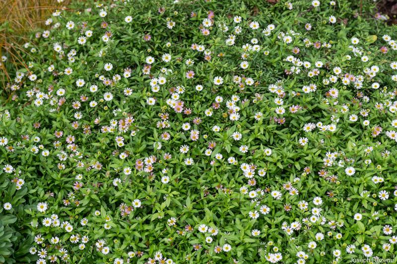 Toujours en fleur à la mi-novembre...