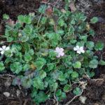 <em>Erodium × variabile</em> 'William Bishop' 22/04/2021