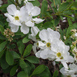 <em>Exochorda x macrantha</em> 'The Bride' 24/04/2015